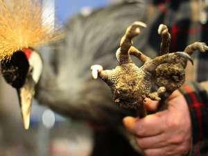 Ein schwerer Fall von Sohlengeschwüren bei einem Kronenkranich; es handelt sich nicht um einen Wildvogel, sondern um ein in Gefangenschaft gehaltenes Individuum. © Ewald Ferlemann