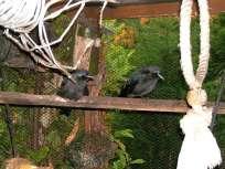 Äste zum Sitzen, Ringe zum Klettern - in einer solchen Voliere können junge Rabenvögel ihre Geschicklickeit trainieren, © Ewald Ferlemann