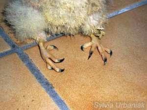 Rachitis in den Beinen eines jungen Turmfalken, © Sylvia Urbaniak