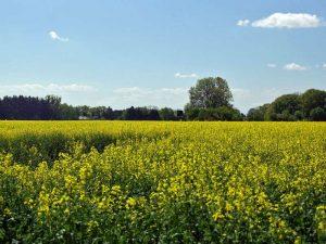 Der weit verbreitete Rapsanbau gefährdet die Artenvielfalt der Wildpflanzen, © Gaby Schulemann-Maier