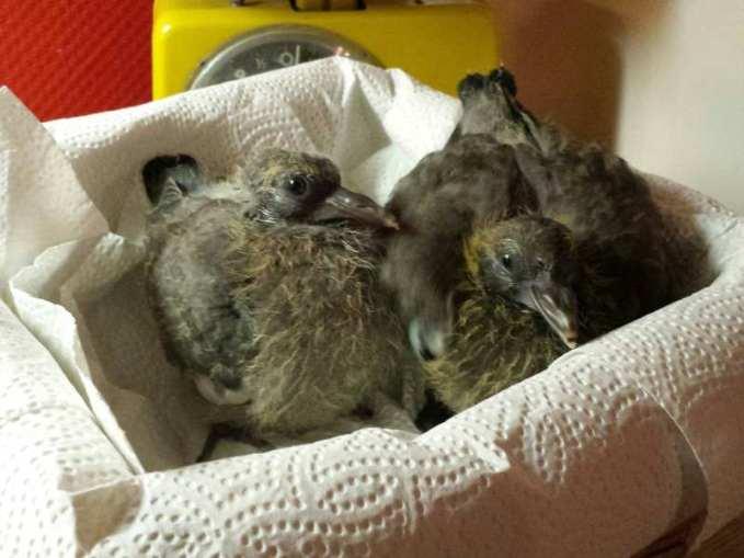 Jeunes pigeons ramiers, © Tanja Kahlert