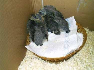 Hat man gerade keinen anderen Nestersatz zur Hand, eignet sich im Notfall als vorübergehende Lösung auch ein Brotkörbchen, um junge Tauben darin unterzubringen, © Sandra Biesenbaum