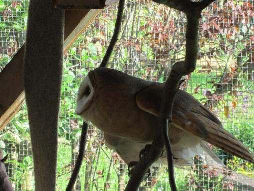 Große Vögel, wie diese Schleiereule müssen in einer naturnah eingerichteten Voliere untergebracht werden, © Corinna Heinrich