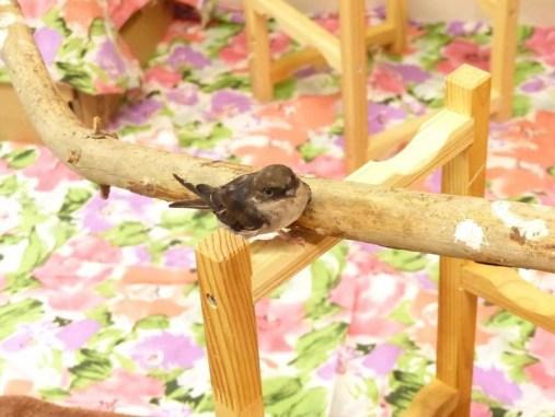 Flugunfähige Schwalbe in artgerechter Unterbringung, © N.K und T.K
