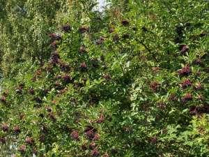 Der Schwarze Holunder ist im Spätsommer ein wichtiger Beerenlieferant für Wildvögel. © Gaby Schulemann-Maier