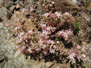 Der Mauerpfeffer (Sedum sp.) gehört zu den Pflanzenarten, die man auf Natursteinmauern häufig findet, © Gaby Schulemann-Maier