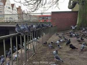 Ein Schwarm Tauben wartet in der Stadt auf die nächste Fütterung, © Aysin Matthiesen