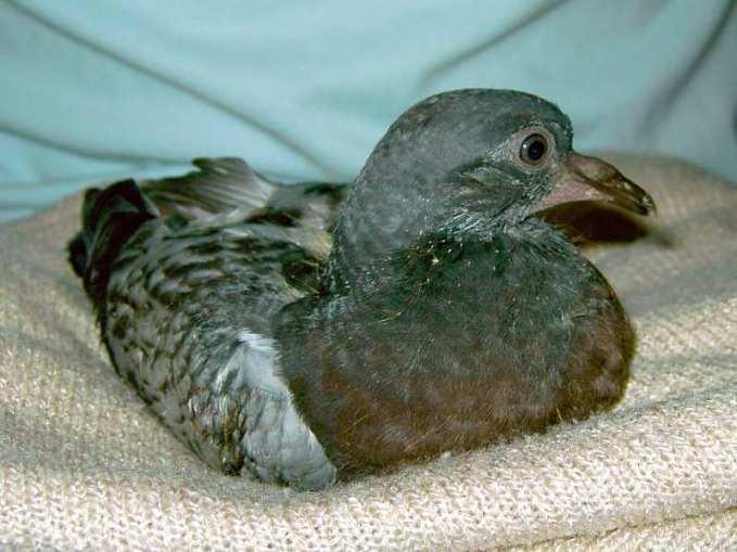 Jeune pigeon biset féral, © Tabea Hoffmann