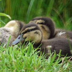 Jeunes canards colverts, © Gaby Schulemann-Maier