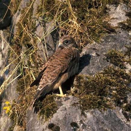 Jeune faucon crécerelle, © Mechthild & Heinz Immekus