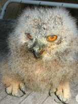 Junger Uhu, etwa drei Wochen alt, © Helmar Anders, Greifvogelhilfe Sachsen