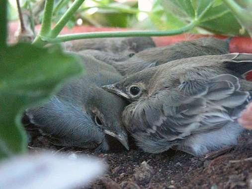 Die jungen Bachstelzen ducken sich in ihrem Geranien-Dickicht, © Reinhard Resch