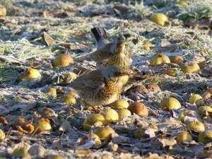 Viele Vogelarten wie beispielsweise diese Wacholderdrosseln fressen im Winter Obst, zum Beispiel vom Herbst übrig gebliebenes Fallobst oder von Menschen am Futterplatz ausgelegtes Obst, © Gaby Schulemann-Maier