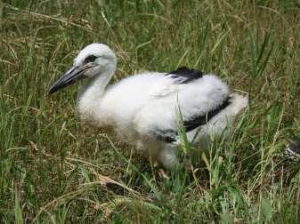 Junger Weißstorch, © Anett Ebert