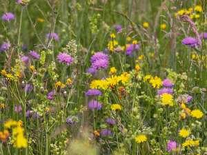 Wildblumenwiesen sind für Insekten und andere Tiere wichtig, © Couleur / Pixabay