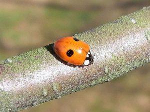 Zweipunkt-Marienkäfer (Adalia bipunctata), © Gaby Schulemann-Maier