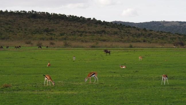 Impalas grazing in Masaai Mara