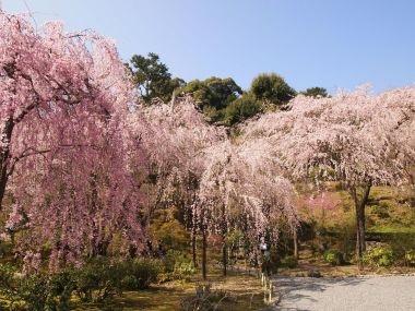 天竜寺しだれ桜