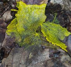 Physarum polycephalum John Kirk