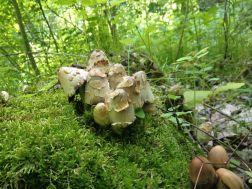 Richard Jacob - Coprinopsis variegata
