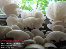 Pictorial 1st Place Loukas Savvidis: Pleurotus ostreatus in North Hills