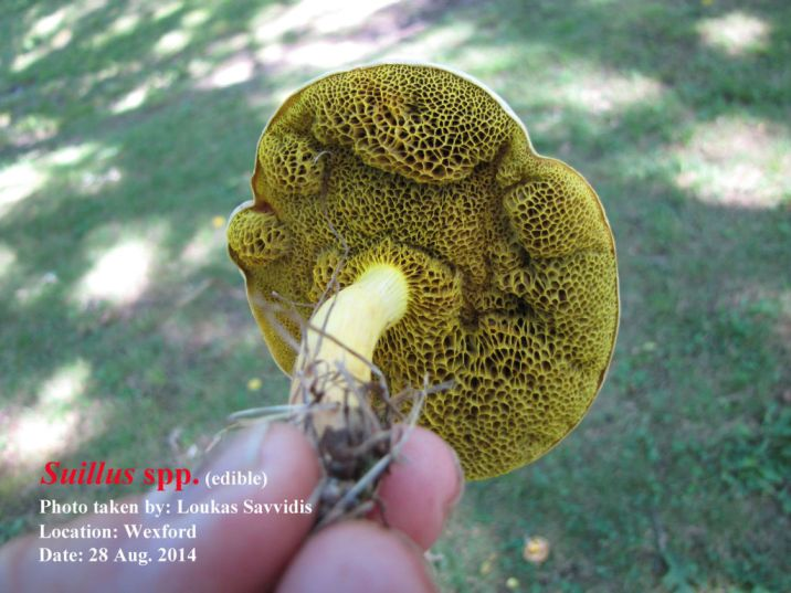 Loukas Savvidis - Amanita spp.