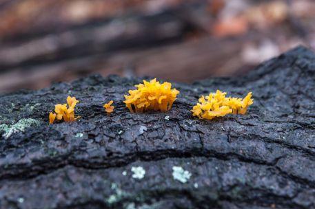 Dacryopinax spathularia (Spathula Shapped Yellow Jelly)