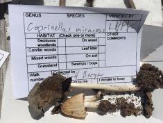 Coprinus micaceus (Mica Cap). By Richard Jacob