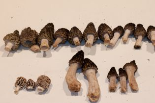 Mixture of morels collected at Pine Ridge park.