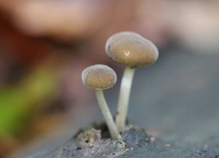 Simocybe centunculus. By Brian Johanson.