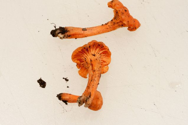 Cantharellus cinnabarinus or Cinnabar-red Chanterelle. By Richard Jacob.