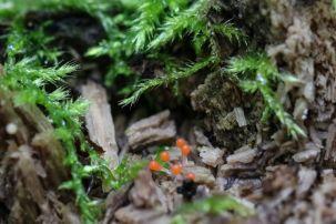 Hemitrichia calyculata. By Brian Johanson.