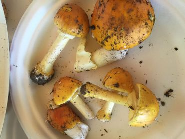 Amanita flavoconia or Yellow Patches. By Richard Jacob