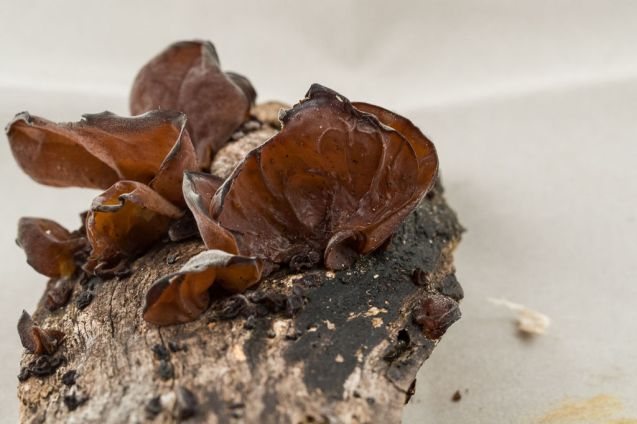 Auricularia auricula. WPMC 1008. By Richard Jacob