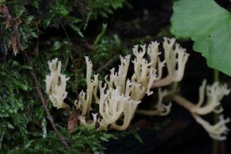 Artomyces pyxidatus. On mossy log. By Brian Johanson