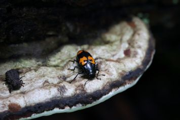 Ganoderma applanatum. With horned fungus beetle and pleasing fungus beetle. By Brian Johanson
