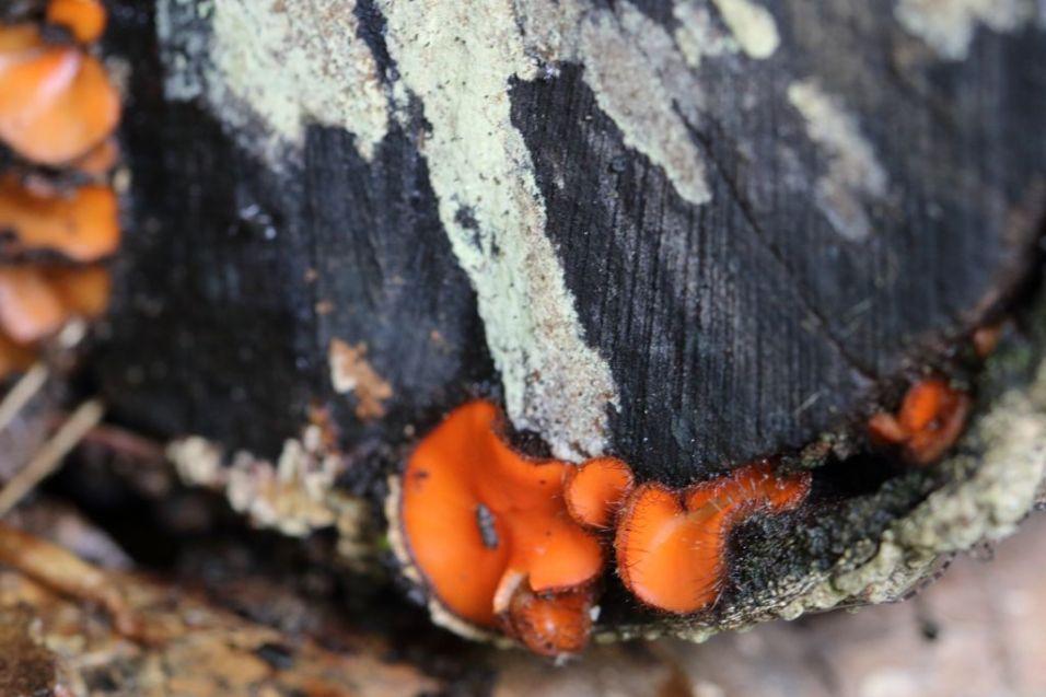 Scutellinia scutellata. On log. By Brian Johanson
