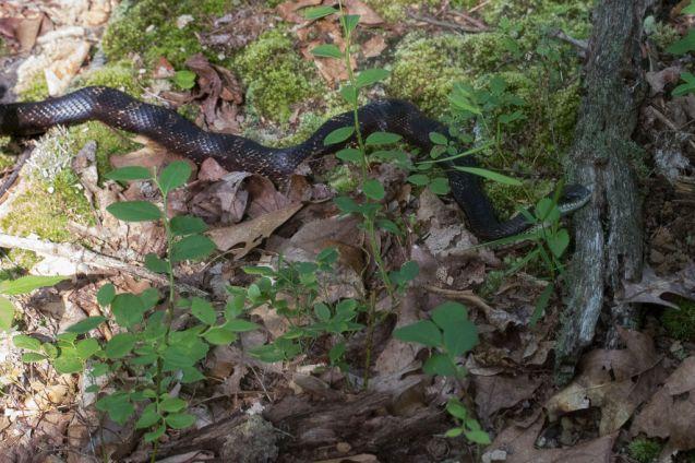 Pantherophis alleghaniensis. Easten ratsnake. By Richard Jacob