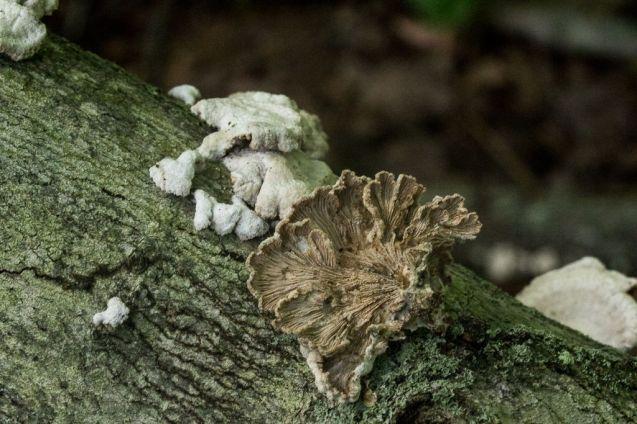 Schizophyllum commune. Gills. By Richard Jacob