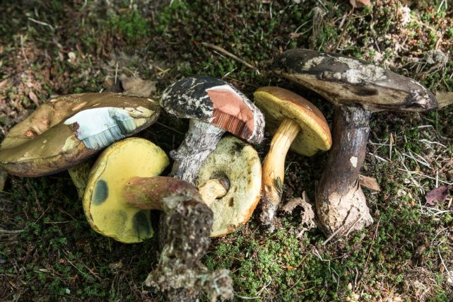 Bolete selection. By Richard Jacob