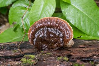 ganoderma-applanatum-by-richard-jacob