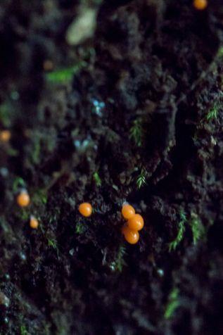 hemitrichia-calyculata-by-richard-jacob