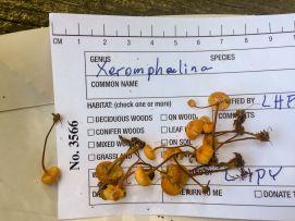 xeromphalina-kauffmanii-on-collection-plate-by-richard-jacob