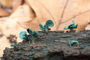 chlorociboria-aeruginascens-by-richard-jacob-2