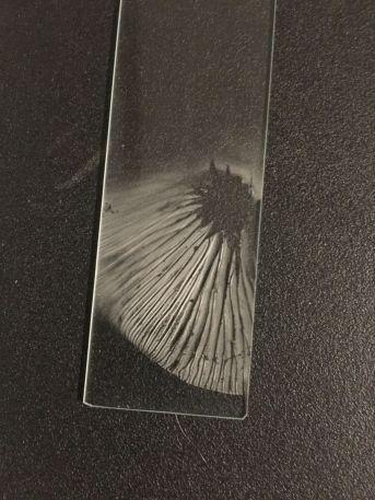 clitocybe-cokeri-4315-spore-print-by-richard-jacob