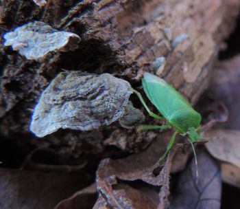 Stereum ostrea, With a green stinkbug (mostlikely Chinavia halaris). By Adam Haritan