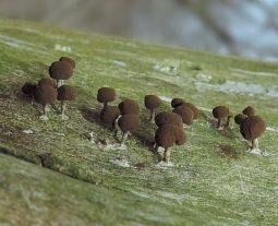 myxomycete1. By Adam Haritan.jpg