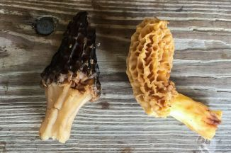 Black and Gold. Morels found by Gus. By Richard Jacob