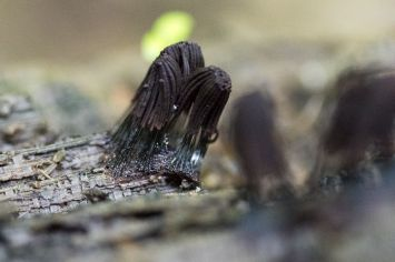 Stemonitis splendens. Close up. By Richard Jacob