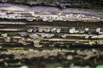 Xylobolus frustulatus. Underside of log. By Richard Jacob